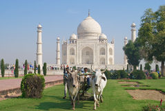 People cut grass with a bull ridden lawn mover at Taj Mahal in Agra, India. Stock Photography