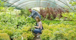 People cutting plants in hothouse. Horizontal indoors shot of man and woman doing horticulture job and taking care of plants in greenhouse stock video