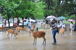 People with deers at park in Nara, Japan Royalty Free Stock Photography