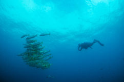 People diving. Divers interacting with wildlife in the reefs of the sea of cortez, Mexico Stock Images