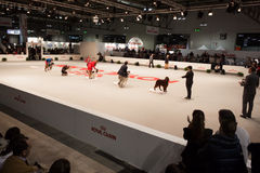 People and dogs at the international dogs exhibition of Milan, Italy Royalty Free Stock Images