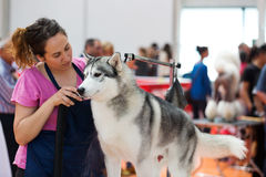 People and dogs are preparing for  exhibition. VIC, SPAIN - JUNE 1, 2014: People and dogs are preparing for  exhibition. XIX national dog exhibition of Catalonia Royalty Free Stock Photo
