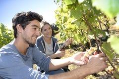 People doing manual grape harvesting Stock Photos