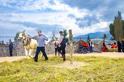 People dressed in old ethno clothes at manual rice harvesting manifestation using horse animal to separate the ripe from stem Royalty Free Stock Images