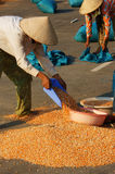 People dry corn of good crop Stock Photos