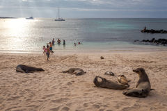 People enjoy the beach with Sea lion that live near the beach in San Cristobal before sunset ,Galapagos Royalty Free Stock Image