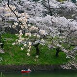 People enjoy cherry blossoms at the park. People enjoy cherry blossoms from rowing boats at Chidorigafuchi Park in Tokyo, Japan stock images