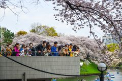People enjoy cherry blossoms at the park stock photo