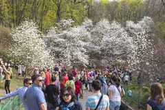 People enjoy magnolia blossoms in Botanical Garden in Kyiv Stock Images