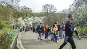 People enjoy spring magnolia blossoms in the Botanical Garden in Kyiv stock footage