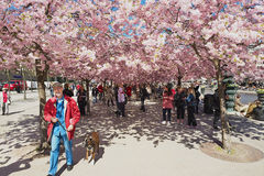 People enjoy walking under blossoming cherry trees at Kungstradgarden in Stockholm, Sweden. STOCKHOLM, SWEDEN - APRIL 28, 2011: Unidentified people enjoy royalty free stock photo