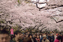 People enjoying blooming Cherry Blossoms at Ueno park in Tokyo, Japan Stock Photography