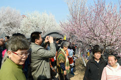people enjoying the peach blossom Royalty Free Stock Image