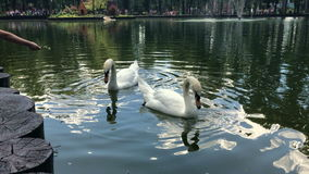 People fed two swans on lake. At warm summer day stock footage