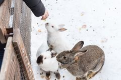 People feed decorative rabbits in the zoo.  Royalty Free Stock Image