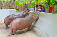 People feed hippopotamuses at zoo Stock Image