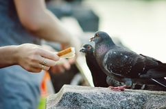 People feed pigeons with bread in the street, close-up. People feed pigeons with bread in the street, closeup stock images