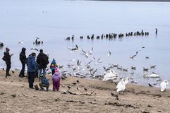 People feed swans at sea, people throw bread to seagulls royalty free stock images