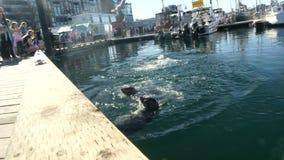 People feeding baby seals wildlife Victoria stock video