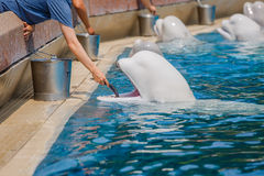 People feeding belugas Stock Images