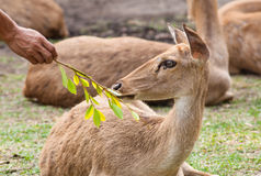 People feeding the  Brow-Antlered Deer. Royalty Free Stock Photos