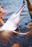 People feeding the famous Pink Dolphin (Boto Rosa) in Amazon, Brazil Stock Images