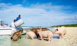 People Feeding Feral Exuma Pigs. 5th January 2017 - Exumas Islands, Bahamas. Local people feeding famous Exuma feral pigs on the sandy beach stock photography