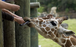 People feeding giraffe in zoo Stock Photos