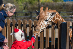 People feeding giraffes Stock Images