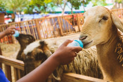 People feeding goats. People are feeding goat`s milk stock photo
