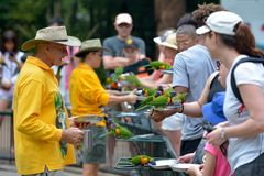 People feeding Native Australian Rainbow Lorikeet in Queensland Australia royalty free stock image
