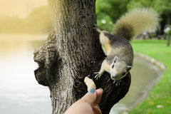 People feeding Squirrel with peanut or bean on tree. Royalty Free Stock Photo