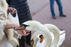 People feeding swans with bread Stock Images