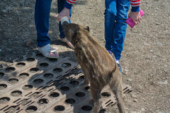 People feeds small wild boar from bottle. Royalty Free Stock Image