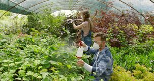 People fertilizing plants in greenhouse. Gardeners man and woman in respirators taking care of plants and fertilizing it with sprayers in the hothouse stock footage
