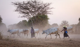 People follow the cows in Bagan, Myanmar.  Stock Images