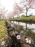 Hanami in Japan during cherry blossom season Stock Images