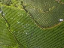 People Gathering Oolong Tea Leaves on Plantation in Alishan Area, Taiwan. Aerial View