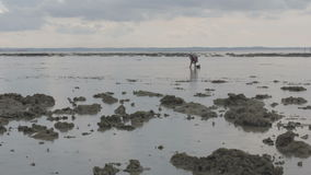People gathering oyster during low tide Royalty Free Stock Image