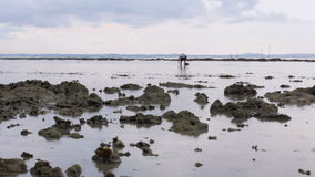 People gathering oyster during low tide Stock Photography