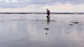People gathering oyster during low tide Royalty Free Stock Photo