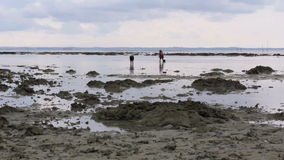 People gathering oyster during low tide Stock Image