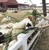 People give food and grass to feed sheep at Sheep farm Stock Photo