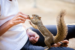 People giving a peanut to a Tree squirrel Stock Photo