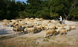 People graze herd of sheep Stock Photography