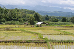 People in green rice field. And cottage thailand Stock Images