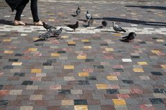 People and grey pigeons walking with cast shadow on colorful square shape marble texture floor in old town public open space Stock Images