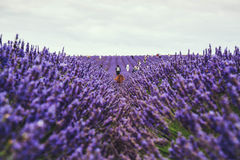 People hand picking lavender in a field royalty free stock image