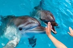 People hand touch a dolphin. Marine life royalty free stock photos