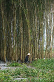 People harvest indingo tree stock photography
